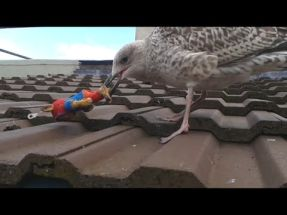 Gull Nibble